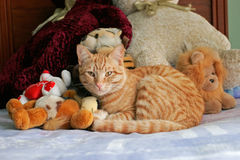 Cat and teddy bears. Cuddly ginger cat lying between teddy bears on bed royalty free stock images