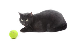 Cat with tennis ball Stock Photography
