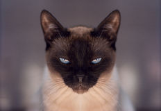 thai siamese cat Royalty Free Stock Photo