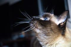 Cat Thai avelstående royaltyfri fotografi