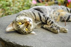 Cat Thai Royalty Free Stock Images