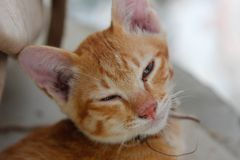Cat thai, The eyes of the orange cat are drowsy.  stock photography
