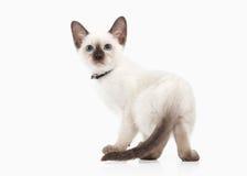 Cat. Thai kitten on white background Stock Photography