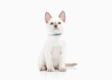Cat. Thai kitten on white background. Thai kitten on white background royalty free stock images