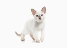 Cat. Thai kitten on white background Stock Image