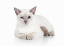 Cat. Thai kitten on white background Royalty Free Stock Photo