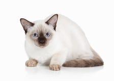 Cat. Thai kitten on white background Royalty Free Stock Image
