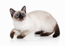 Cat. Thai kitten on white background Stock Images