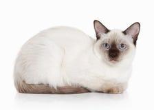 Cat. Thai kitten on white background Royalty Free Stock Photography