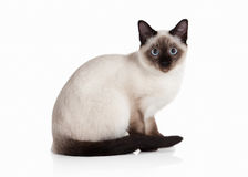 Cat. Thai kitten on white background Stock Photo