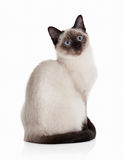 Cat. Thai kitten on white background Royalty Free Stock Photos