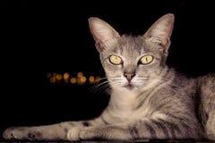 Cat thai over black Stock Image