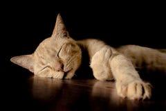 Cat thai over black Stock Images