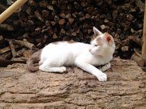 Cat Thai Stock Image