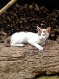 Cat Thai Royalty Free Stock Photo