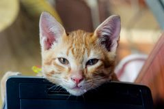 Cat thai, Young cat looking surprised and scared stock photography