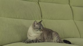 Cat Thai-Zucht liegt auf Couch und schaut um Gesamtlängenvideo auf Lager stock video