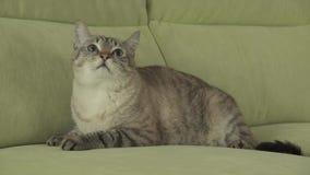 Cat Thai-Zucht liegt auf Couch und schaut um Gesamtlängenvideo auf Lager stock video footage