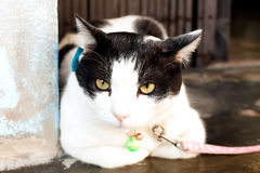 Cat Thailand were tied in front of the house. Royalty Free Stock Image