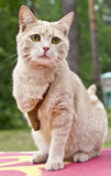Cat The Invalid Royalty Free Stock Photography