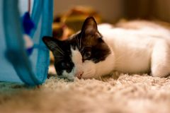 Cat thinking about life. Cat lying on the carpet and thinking what to eat today evening Royalty Free Stock Photo