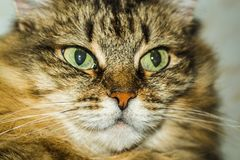 Portrait of a cat royalty free stock image