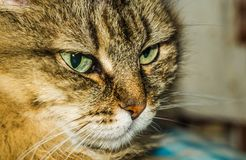 Portrait of a cat. A cat thinks about life eyes are full of hesitation Royalty Free Stock Photos