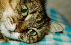 Portrait of a cat. A cat thinks about life eyes are full of hesitation Royalty Free Stock Photography