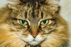 Portrait of a cat. A cat thinks about life eyes are full of hesitation Royalty Free Stock Image