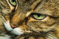 Portrait of a cat. A cat thinks about life eyes are full of hesitation Stock Images