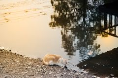 Cat drinks water in a pond. Royalty Free Stock Photo