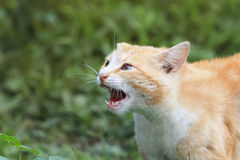 Cat threateningly opened mouth with big teeth Stock Image