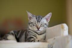 Cat Tiger Striped branca está dormindo Imagens de Stock