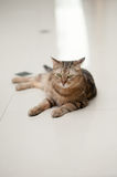 CAT. A tiger (tabby) cat relaxing royalty free stock photography
