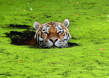 Tiger. Taking a dip in the water Royalty Free Stock Images