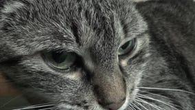 Placid cat stock video footage