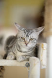 Cat with tiger white-stripe. A can with tiger white-strip lay on carriage stock photo
