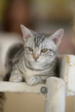 Cat with tiger white-stripe. A can with tiger white-strip lay on carriage royalty free stock photo