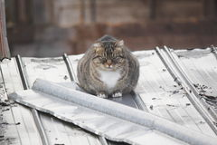 Cat on a Tin Roof Royalty Free Stock Photo