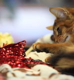 Cat and Tinsel. A cat of Abyssinian breed royalty free stock photos