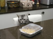 Cat In Kitchen. A cat about to steal a food laid on a kitchen table, indoor closeup Stock Photos