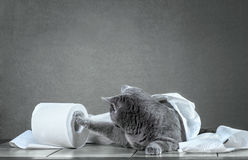 cat and toilet paper. Stock Photo