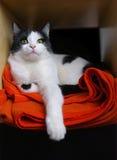 Cat, tomcat, pet. Black and white tomcat lying on an orange blanket Stock Photos