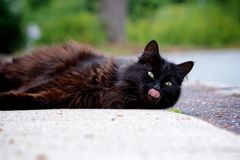 Cat with tongue Royalty Free Stock Photography