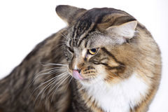 Cat, tongue out, Main coon. European domestic cat on white background Royalty Free Stock Image