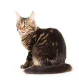 Cat, tongue out, Main coon. Maine Coon cat on white background Royalty Free Stock Photography