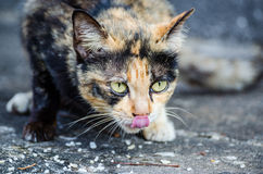 Cat with tongue. A cat sticking out its tongue Royalty Free Stock Images