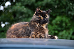 Cat on top of a car Stock Photography