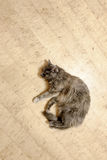 Cat top view lying on floor with copy-space Royalty Free Stock Image
