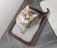 Free Cat Top View Sitting In Litter Box On Bathroom Floor Stock Images - 130353004